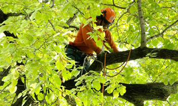 Tree Trimming in Albany NY Tree Trimming Services in Albany NY Tree Trimming Professionals in Albany NY Tree Services in Albany NY Tree Trimming Estimates in Albany NY Tree Trimming Quotes in Albany NY